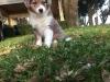 Aussie-Corgi, 6 weeks, Merle