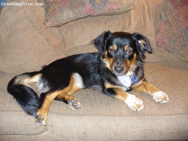Aussie-Corgi, 2 Years, Tri-color, Katie - Assie Corgi rescue-2 years old