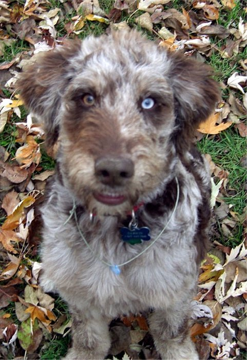 Aussiedoodle Information, Pictures, Reviews and Q&A | GreatDogSite.com Weimaraner For Sale