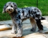 Aussiedoodle, 8mths old, Blue Merle