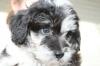 Aussiedoodle, 8 weeks, Blue Merle