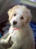 Aussiedoodle, 5 months, Peach