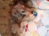 Aussiedoodle, 5 months, Multi