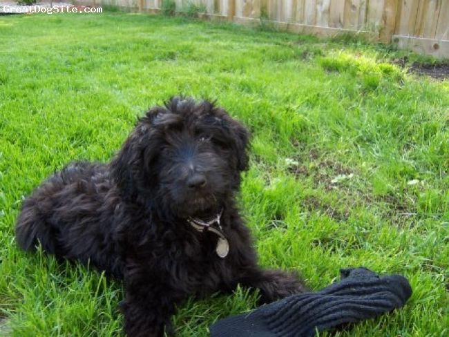 Aussiedoodle, unsure, black, laying down