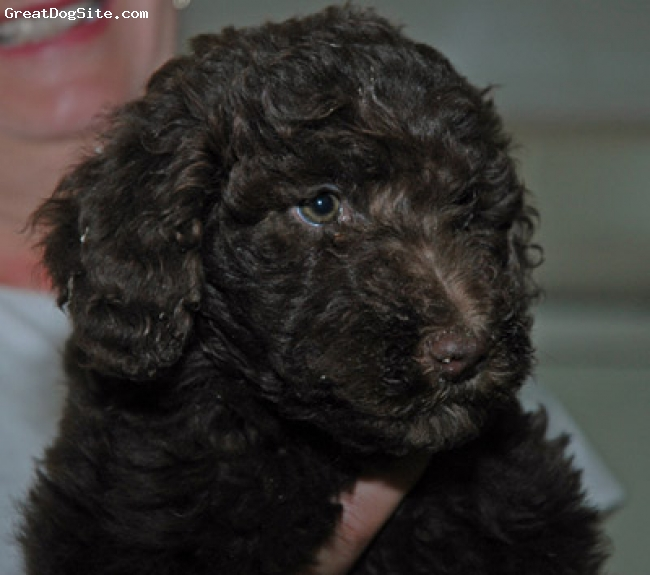 Aussiedoodle, unsure, black, new puppy