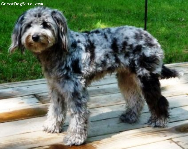 Aussiedoodle, 8mths old, Blue Merle, Aussiedoodle pups