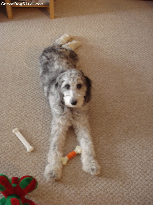 Aussiedoodle, 9 months, Blue Merle, We love our Aussiedoodle and wouldn't have any other breed!