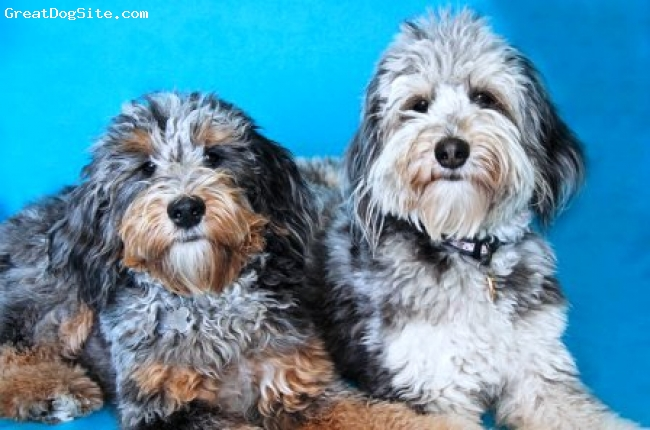 Aussiedoodle, 1yr, Blue Merle, Molly and Zoe are  Blue Merle with tri markings Aussiedoodles