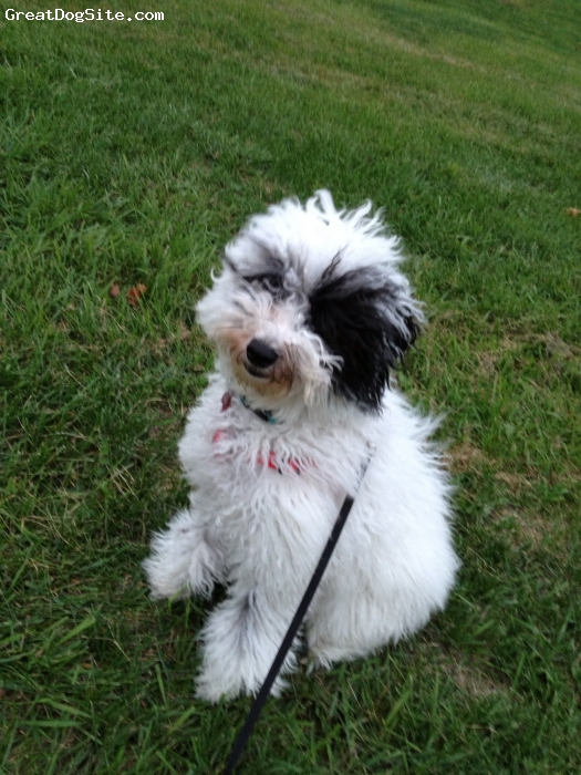 Aussiedoodle, 6 months, White and black, Aussiedoodle who looks very much like a miniature Old English Sheepdog.  Super sweet but very puppy still :)