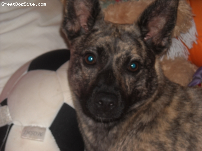 Austi-Pap, 3, brindle, I'm not quite sure what she is but she is short and very active. she is very affectionate and is easily frightened. she looks like an australian cattle dog except she is only 23 pounds. she is willing to learn and very smart.