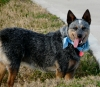 Australian Cattle Dog, 1, Blue