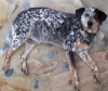 Australian Cattle Dog, 14, brindled black red white brown