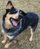 Australian Cattle Dog, 3, blue