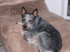 Australian Cattle Dog, 1.5, Blue