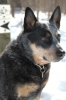 Australian Cattle Dog, 9, blue