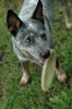 Australian Cattle Dog, 7 months, blue