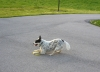 Australian Cattle Dog, 3 years, White mottled with blue