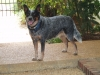 Australian Cattle Dog, 7, Blue
