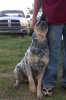 Australian Cattle Dog, 2 years, blue speckled