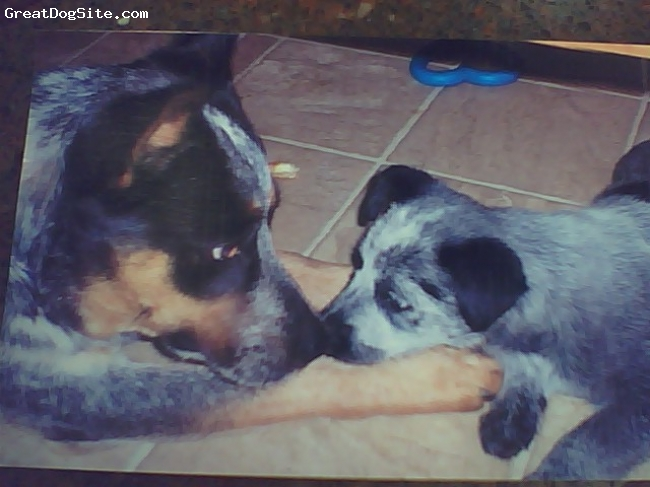 Australian Cattle Dog, 1 & 3 mts, blue, Intro of our new puppy Sky and our 1 yr old Jetta, they get along great.