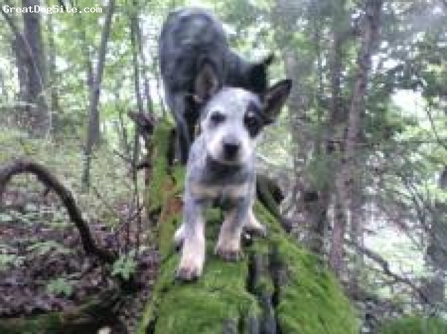 Australian Cattle Dog, 10 weeks, blue merle, climbing on a log in the forest
