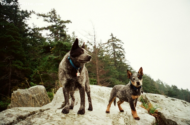 Australian Cattle Dog, 6.5month, blue merle, Roadie and Ratchet(Australian Stumpy Tail Cattle Dog)on the coast of Bellingham Wa