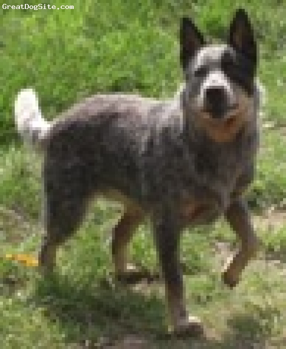 Australian Cattle Dog, 8 Months, Blue, Ella is 8 months here and is full of energy. She loves to swim, chaes sticks and dig very large holes in the back yard.