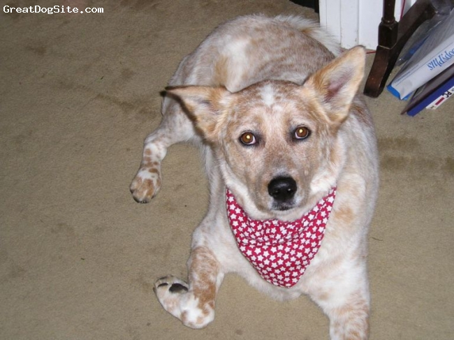 Australian Cattle Dog, 12, Red, Best dog I have ever owned.