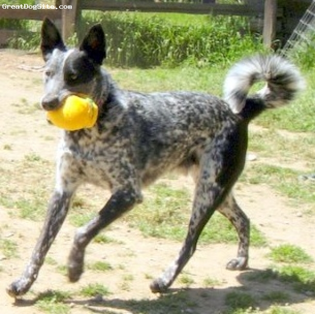 Australian Cattle Dog, 2 1/2, Blue Merle, Patch is active and interested in everything he sees, social and outgoing, a young Australian Cattle Dog with a full tail. He is bright and smart, however, he is also deaf. He has learned the hand signals for many commands.