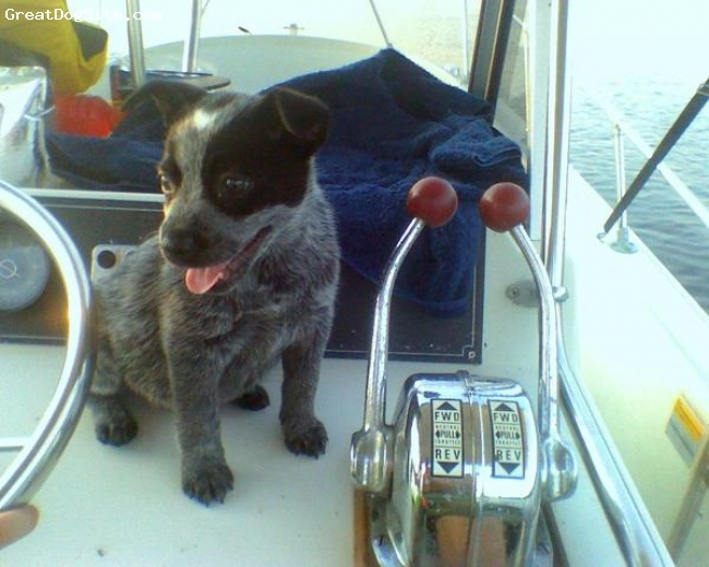 Australian Cattle Dog, 8 weeks, blue heeler, taking the boat out for a spin