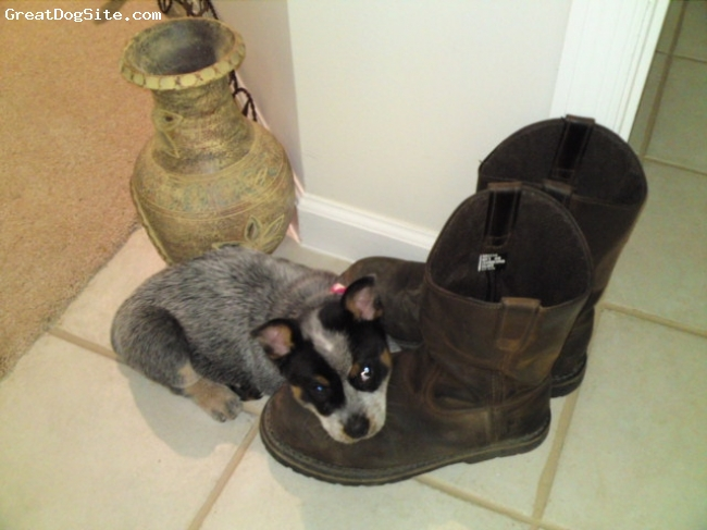 Australian Cattle Dog, 9 weeks, Blue, The first week at her new home, something about the boots made her feel very comfortable...