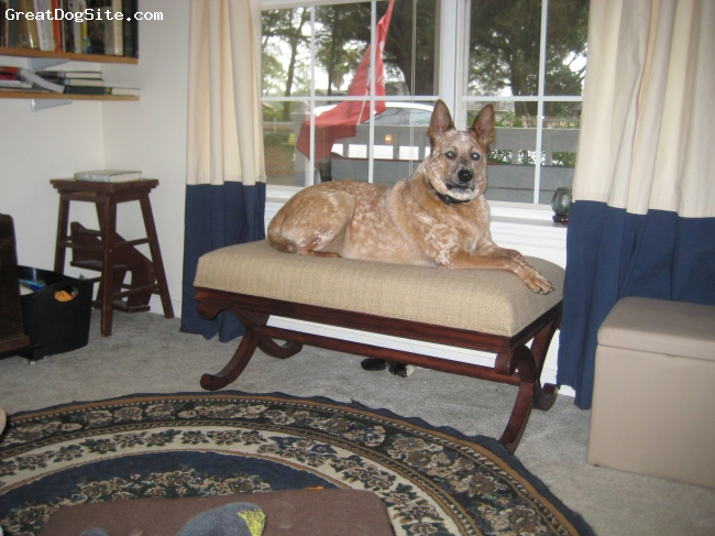 Australian Cattle Dog, 1 1/2 years, Red/White, Quigley's favorite spot to guard the house