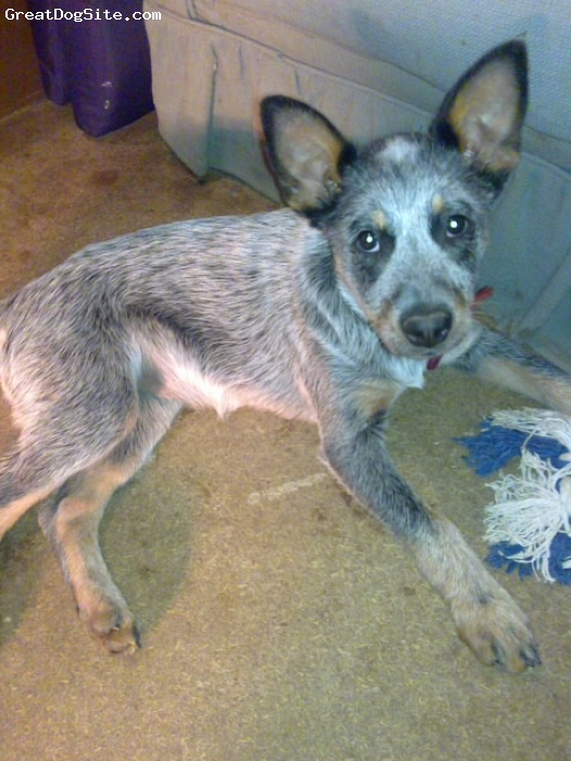 Australian Cattle Dog, 3.5 months (14 weeks), blue - red, here is a photo of my puppy bella when she was 14 weeks old... she is now 16 weeks (4 months)