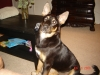 Australian Kelpie, Seven Months, Black, Gold, White Chest with White Spots on Paws