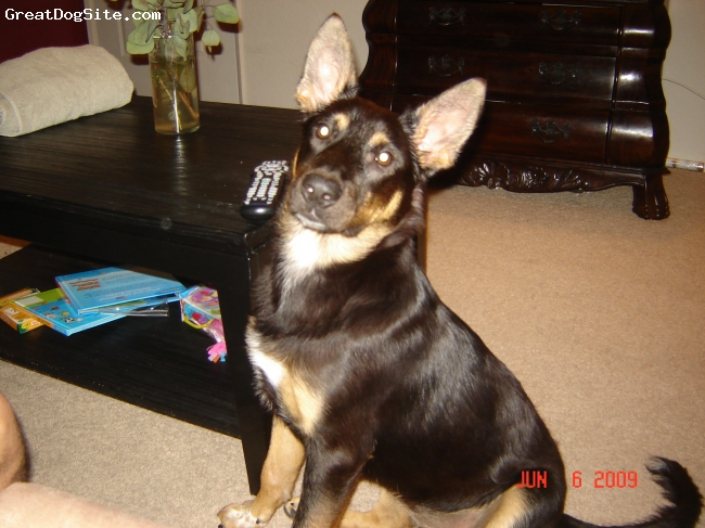 Australian Kelpie, Seven Months, Black, Gold, White Chest with White Spots on Paws, Best Dog!!!