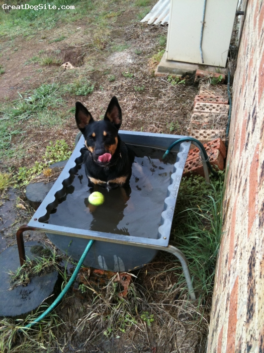 Australian Kelpie, 4, Black / Tan, Daisy lives in the southern highlands on a 2 acre property,