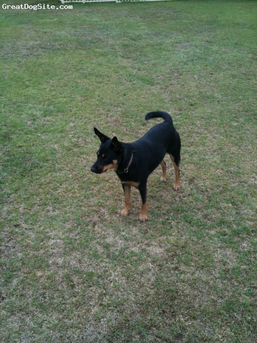 Australian Kelpie, 4, Black / Tan, Diasy is from the Southern Highlands in NSW.