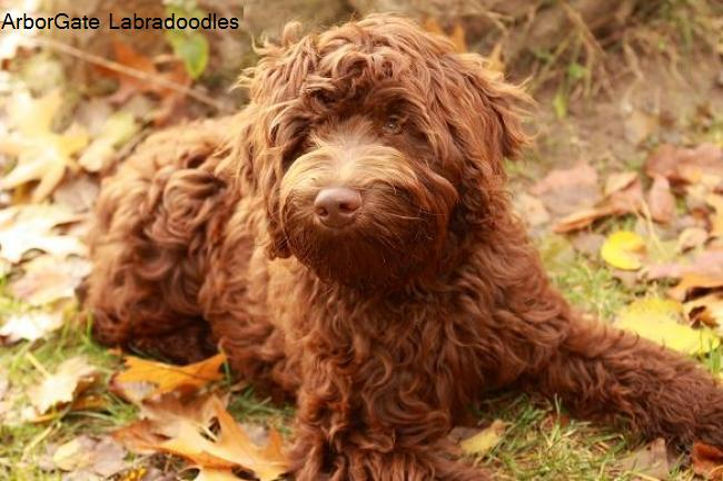 Australian Labradoodle, 8 months, chocolate, Lacey at ArborGate Labradoodles Indiana is a medium chocolate fleece australian labradoodle in our breeding program.