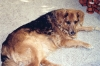 Australian Retriever, Deceased, Gold, Brown, Black
