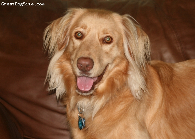 Australian Retriever, 3, GOLD, 60 lb female Golden Aussie mix (rescue) Amazing loving dog that is totally devoted to our family.