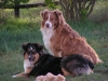 Australian Shepherd, 9 and 4, red and black tri