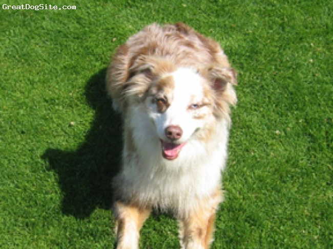 White And Brown Australian Shepherd A photo of a 4 old, Re...