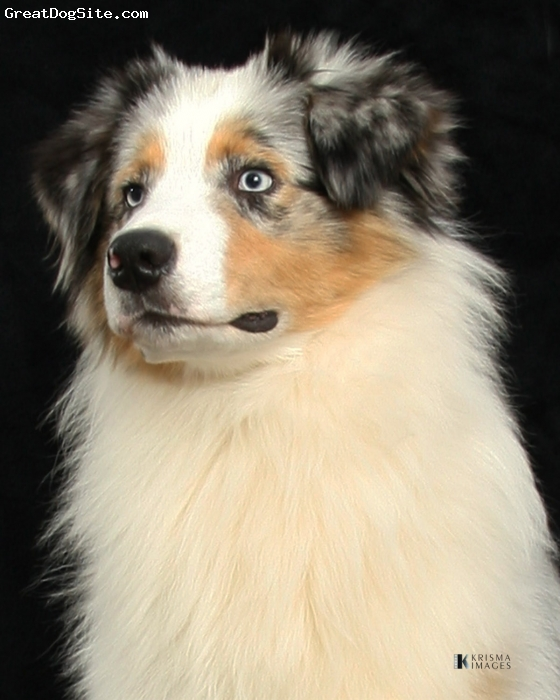 Australian Shepherd, 9 months, Blue merle, Just a beautiful AKC CH. boy.....very sweet and eye candy as well!!!!
