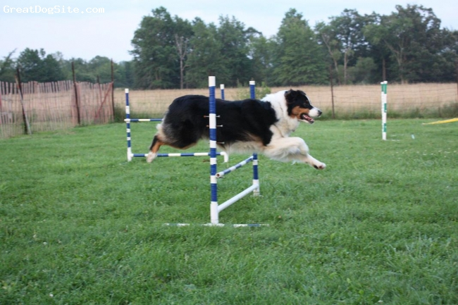 Australian Shepherd, 20 months, black tri, Roobarb at agility training.