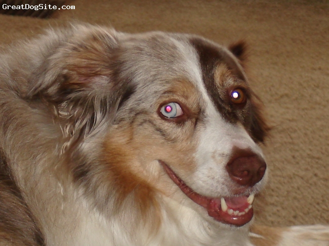 Australian Shepherd, 7 years, red merle, Beautiful, Loyal, Energetic, Funny (but don't laugh at them, they don't like it), Playful, Just Sooooo Hugable.