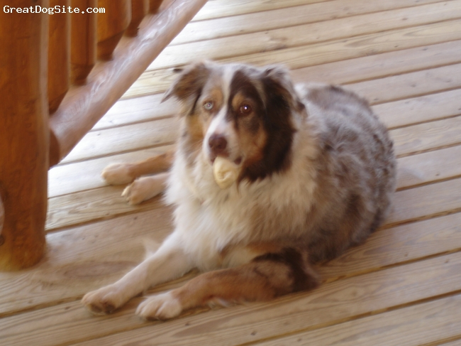 Australian Shepherd, 7 years, red merle, Banchi is the best ball player around.  Banchi and her sister Rua are the most Loyal members....
