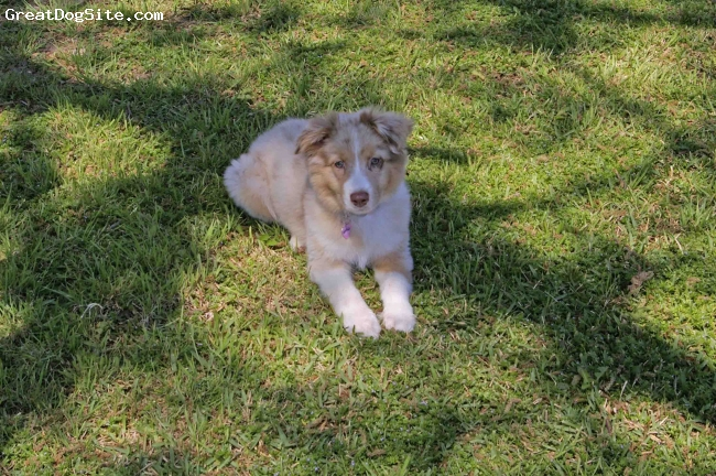 Australian Shepherd, 13 weeks, Red Merle, She is the sweetest, smartest dog that I have ever had!!!!