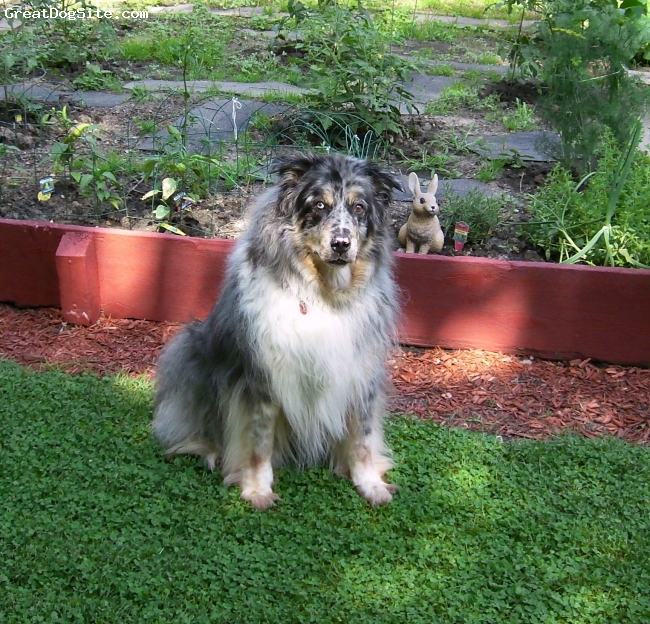 Australian Shepherd, 15, Blue Merle, He is the best dog I have ever owned...Faithful, Loving, Extremely Intelligent, Great with people, very protective [in a good way] with family...I used to live in the Mountains of Arizona and there were free range cattle out back, I let him out to see what he would do, and his natural instincts kicked in immediately...It was like he had been doing that for years...He was a pro...Herded 20+ cattle and before I knew what was happening, he had them in single file line and keeping them there...He looked like a KING out there...He has never been cross around anyone and had never let me down...Hands down, IMO, best dog that a person can own...I just pray that I can enjoy his friendship for a little longer...he has slowed down a bit, but still very alert, still very good eyesight....only thing I have noticed is that his hearing is starting to go, and that has just been within the last year...This is Boe, not only my Dog, my Best Friend!