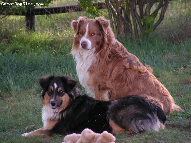 Australian Shepherd, 9 and 4, red and black tri, Proud Dad