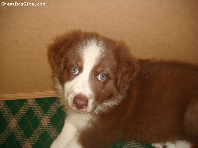 Australian Shepherd, 7 weeks, Red Tri, This is my perfect baby Bretta, the best dog I've ever owned.